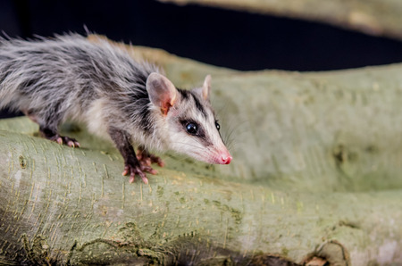 opossum: andean white eared opossum on a branch zarigueya raposa Stock Photo