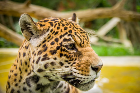 closeup portrait of beautiful jaguar outdoors park zoo photo