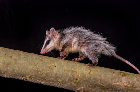 opossum: andean white eared opossum on a branch zarigueya over black background