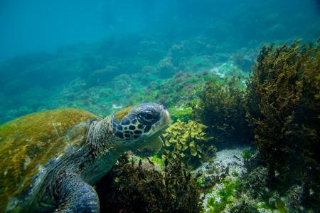 marine turtle swimming underwater in galapagos islands ecuador photo