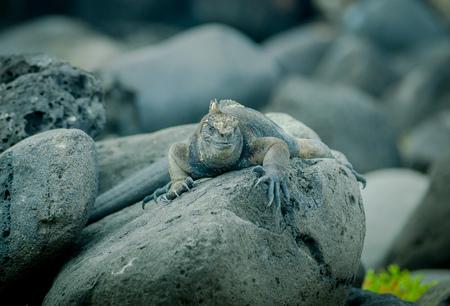 skin diving: iguana on a rock in san cristobal galapagos islands