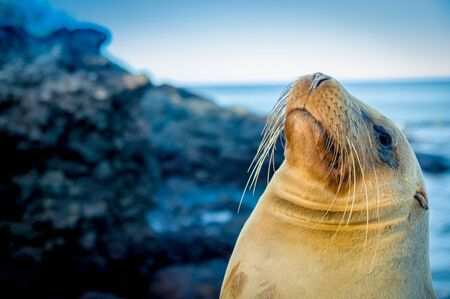 wild life: closeup portrait of sea lions face looking up with sea on the backgroundgalapagos islands Stock Photo