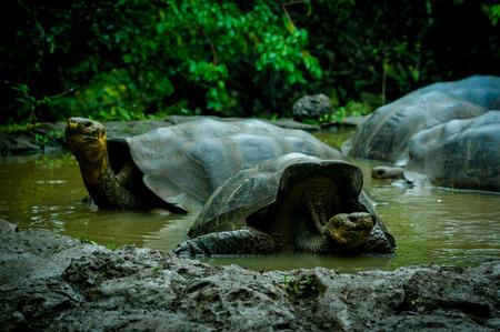 land turtle: galapagos turtles swimming in a lagoon in san cristobal galapagos ecuador