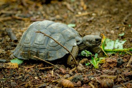 harmless: galapagos turtle eating leaves in san cristobal galapagos ecuador