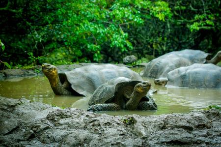 harmless: galapagos turtles swimming in a lagoon in san cristobal galapagos ecuador