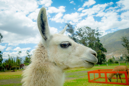 to muffle: closeup portrait of cute llama in a farm Stock Photo