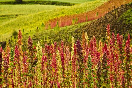 Plantaciones de quinua en Chimborazo, Ecuador, América del Sur Foto de archivo
