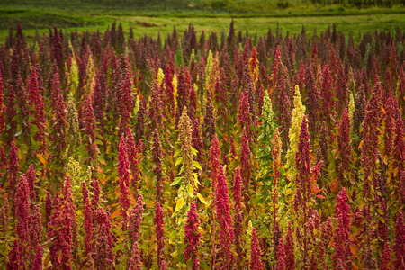plant: Quinoa plantations in Chimborazo, Ecuador, South America