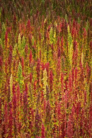 Quinoa plantages in Chimborazo, Ecuador, Zuid-Amerika