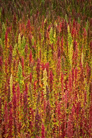 quinoa: Quinoa plantations in Chimborazo, Ecuador, South America