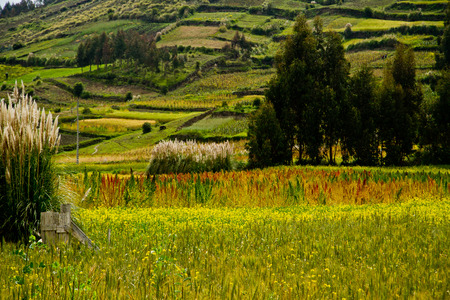 Plantaciones de quinua en Colta, provincia de Chimborazo, Ecuador