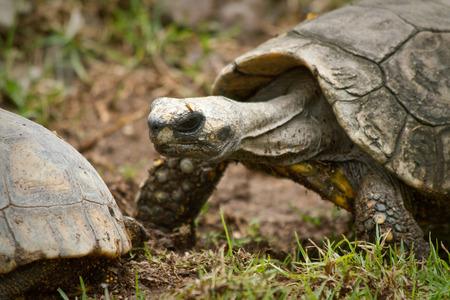 land turtle: Beautiful Land Turtle in Ecuador, South America