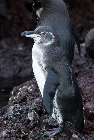 endemic: Close up portrait of endemic Galapagos penguin Stock Photo