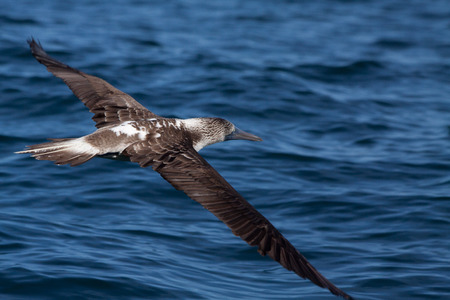 booby: Blue footed booby flying in the Galpagos Islands, Ecuador