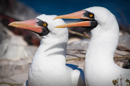 booby: Closeup portrait of two masked boobies in the Galapagos Islands, Ecuador
