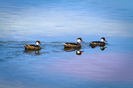 dabbling duck: Three beautiful white-cheeked pintail duck swimming in the Galapagos Islands, Ecuador Stock Photo