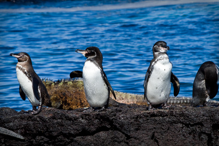 Group of penguins on a rock with an iguana in the background in the Galapagos Islands, Ecuador