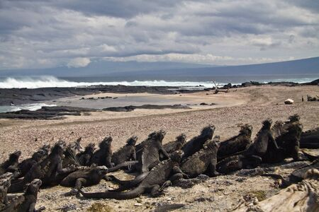 Marine iguanas leaning on eachother in the beach in Fernandina island, Galapagos Islands, Ecuador. Rear view photo
