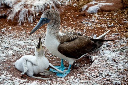booby: Blue footed booby with booby chick in the Galapagos Islands, Ecuador
