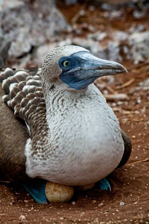 booby: Blue footed booby nesting in the Galapagos Islands, Ecuador