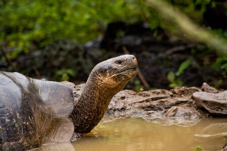 extintion: Portrait of beautiful giant tortoise native to the Galapagos Islands, Ecuador