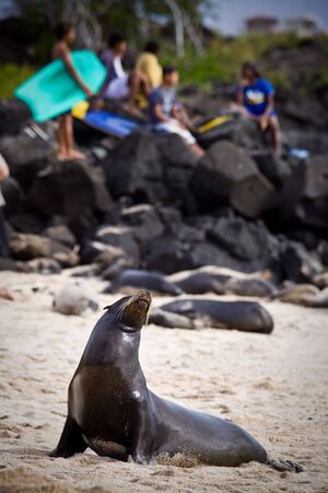 unafraid: Beautiful unafraid sea lion sunbathing on the beach with young teen surfers in the background, Galapagos Islands. Selective focus