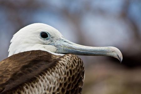frigate: Close up shot of female frigate bird in the Galapagos Islands, Ecuador