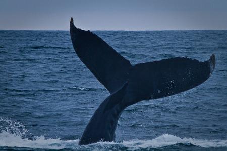 breeding: Beautiful humpback whales in the coast of Ecuador, breeding season