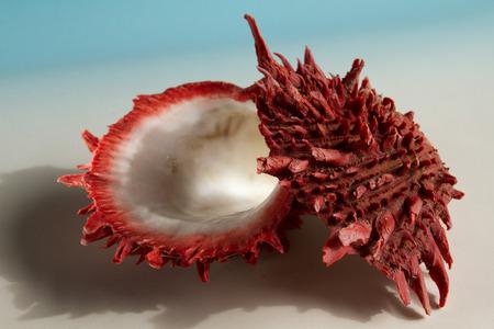 mollusca: Close up shot of red marine spondylus sea shell