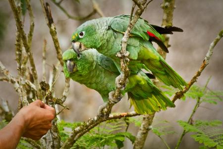 loros verdes: Cierre de tiro de loros verdes en la selva amaz�nica, el Parque Nacional Yasun�, Orellana, Ecuador