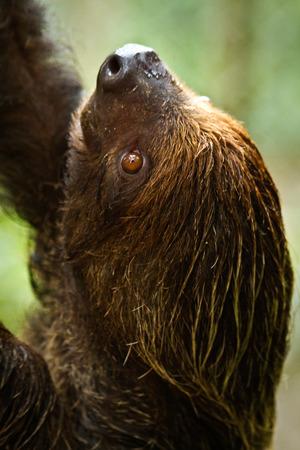 sloth: Dos dedos perezoso en la selva amazónica, el Parque Nacional Yasuní, Orellana, Ecuador Foto de archivo