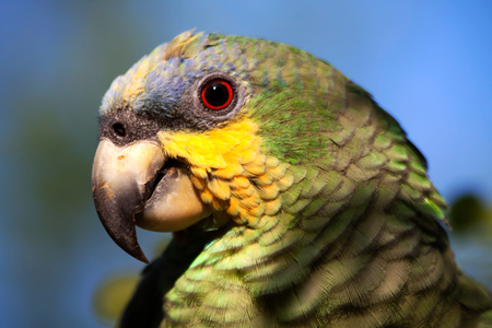 psittacidae: Close up shot of green parrot in the amazon rainforest, Yasuni National Park, Orellana, Ecuador