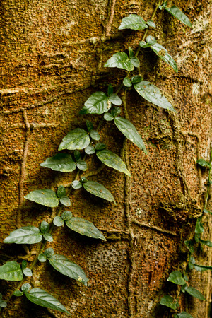 species of creeper: Creeper plant growing around tree, amazon rainforest, Yasuni National Park, Orellana, Ecuador