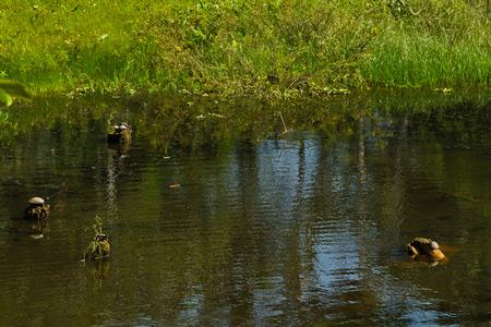 riverine: Turtles in amazon rainforest, Yasuni National Park, Orellana, Ecuador Stock Photo