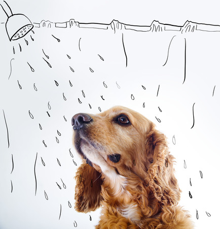 courtain: Cute English Cocker Spaniel puppy in front of a white background with shower courtain and water sketch. Stock Photo