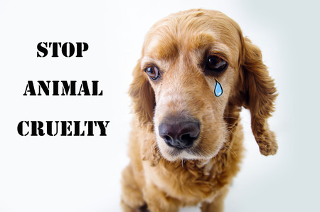 animal cruelty: Cute sad English Cocker Spaniel puppy in front of a white background with a tear sketch and stop animal cruelty sign. Stock Photo