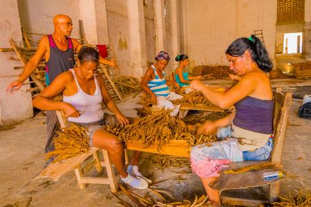 pleasure craft: SANTA CLARA, CUBA - SEPTEMBER 08, 2015: Handmade cigar preparation and selection of tobacco leaves