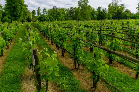 versailles: Beautiful vineyard in Versailles Gardens, Paris, France