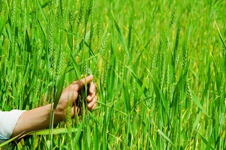 grassy: Closeup of hand grabbing tall grass plants, beautiful green colored grassy background. Stock Photo