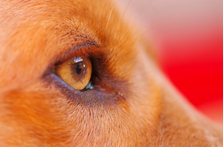 Closeup eye of very cute cocker spaniel dog, beautiful brown colors, seen from profile angle. Stock Photo