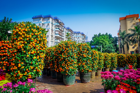 SHENZEN, CHINA - 29 JANUARY, 2017: Many mandarin bushes lined up in pots on city street, chinese tradition as part of new year celebrations Editorial