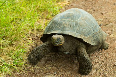 Tortoises are herbivorous animals with a diet comprising cactus, grasses, leaves, vines, and fruit, walking in a rocky road Stock Photo