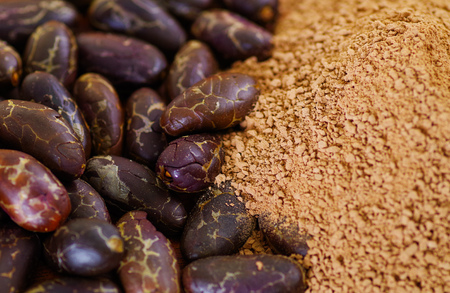 haricot: Close up of a dry cocoa bean and powdered cocoa