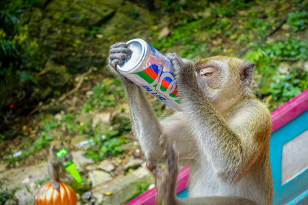 Kuala Lumpur, Malaysia - March 9, 2017: Monkey drinking soda can in the stairs to Batu Caves, a limestone hill with big and small caves and cave temples and a very popular Hindu shrine outside India.