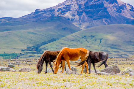 Beautiful wild horses in the National Park Cotopaxi Stock Photo