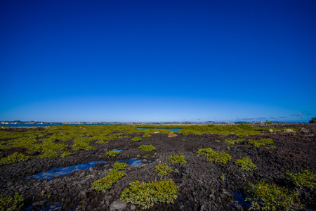 Beautiful landscape in volcanic Rangitoto island in Auckland, in a sunny day with a beautiful blue sky