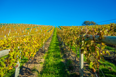 Vineyard vertical panoramic view on Waiheke Island, Auckland, New Zealand in a beautiful blue sky Stock Photo