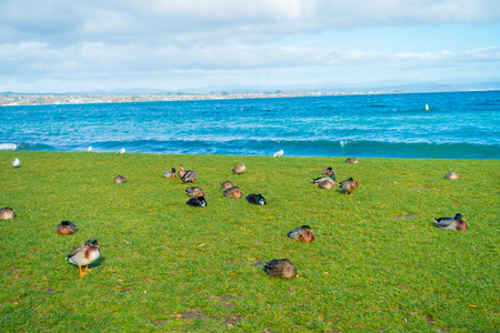 The Pacific black ducks or grey ducks at Lake Taupo, North Island of New Zealand