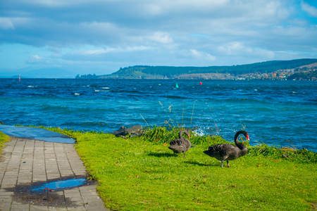 freshwater bird: Beautiful black swans on Taupo lake, New Zealand, North Island in a sunny day