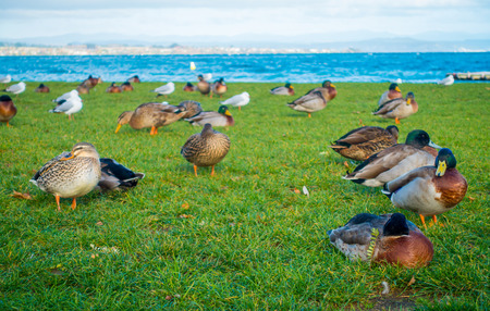 frontier: Close up of the Pacific black ducks or grey ducks at Lake Taupo, North Island of New Zealand